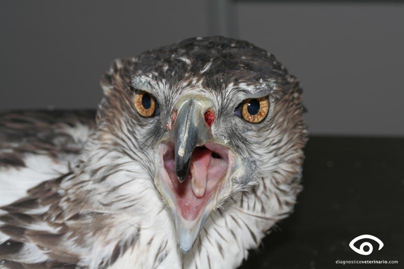 Aguila azor-perdicera
